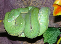 Green Tree Python Care Sheet