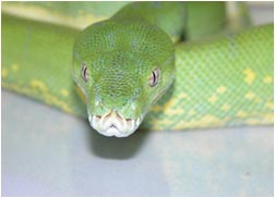 Green Tree Python Close-up