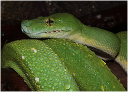 Adult Female Green Tree Python