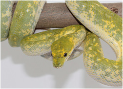 Green Tree Python Female