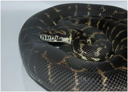Carpet Python Care Sheets