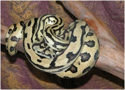 Beautiful Jaguar Carpet Python