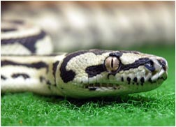 Sub-adult Jungle Carpet Python Female