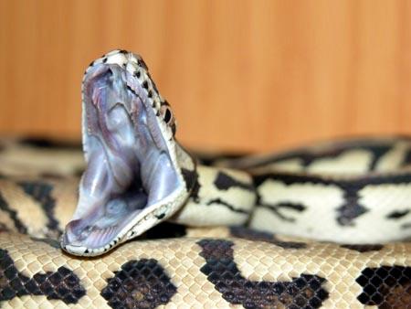 Morelia - Carpet Python Morphs