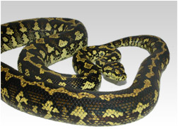 Female Jungle Carpet Python
