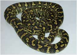 Beautiful Jungle Carpet Python Female