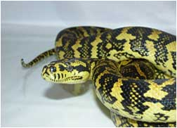 Close up of Jungle Carpet Python