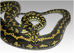 3½ year old female Jungle Carpet Python