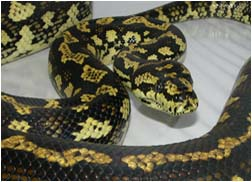 Jungle Carpet Python Female