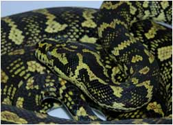 2½ year old Female Carpet Python