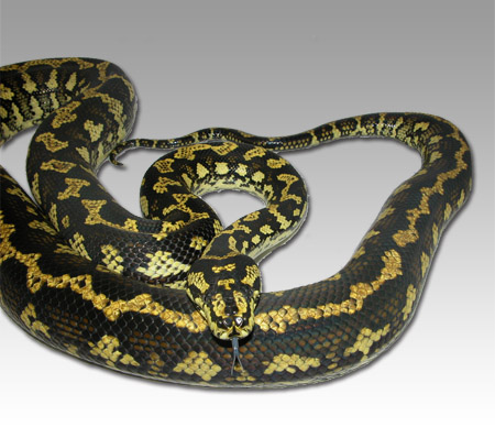 Quality Serpents - JUNGLE CARPET PYTHONS