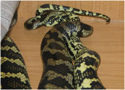 Jungle Carpet Pythons mating